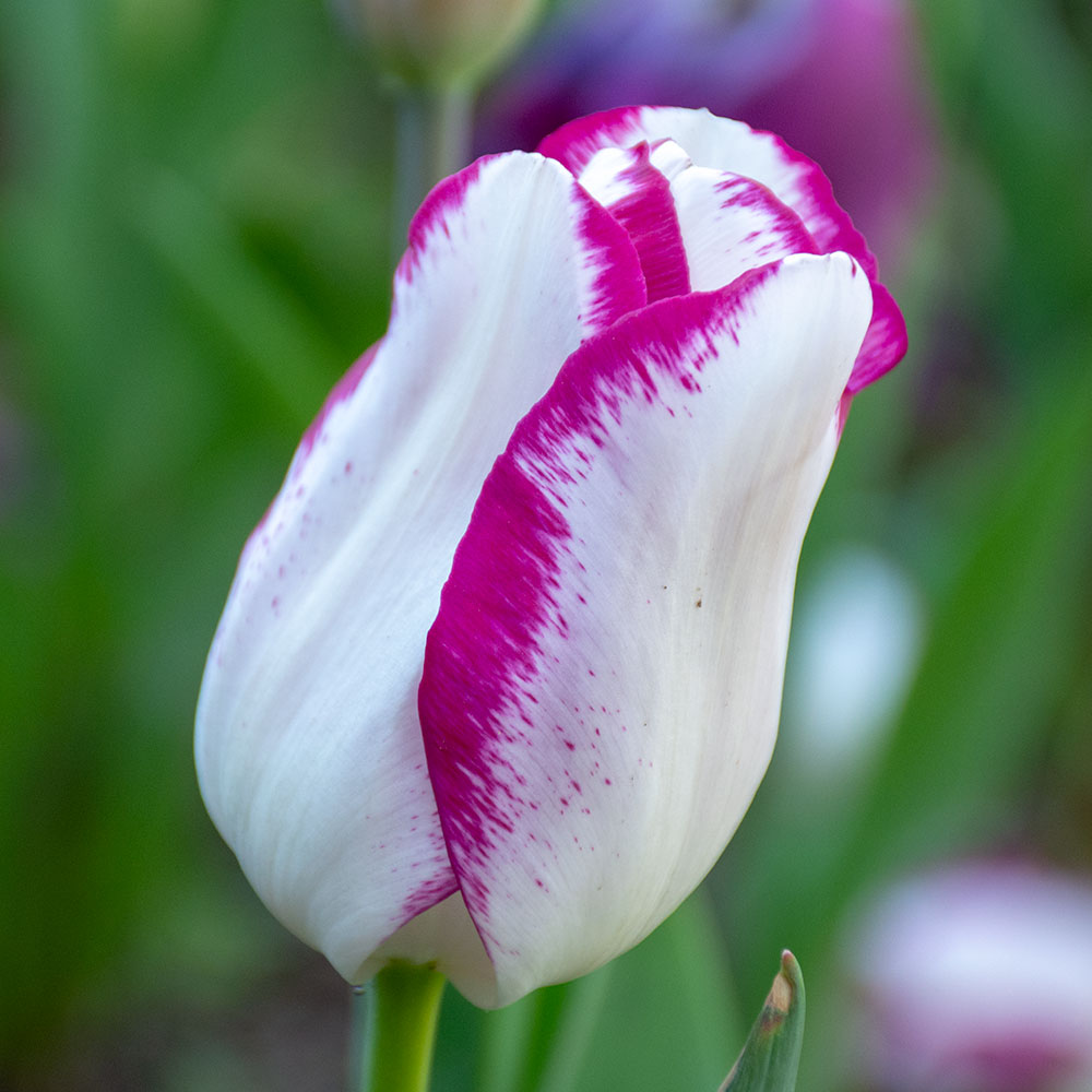 Affaire Tulip