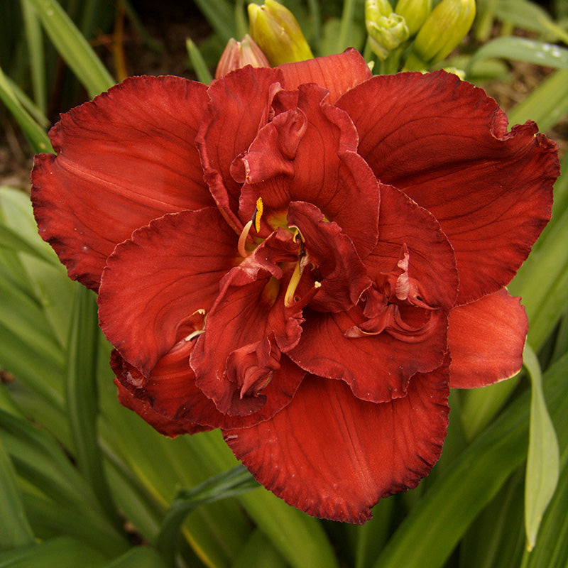 Double Flowering Peony Daylilies