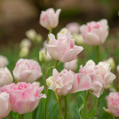Angelique Tulip - 5 Pack