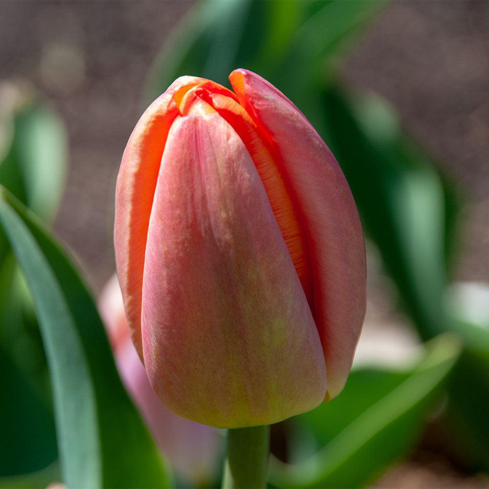 Apricot Impression Tulip - 5 Pack