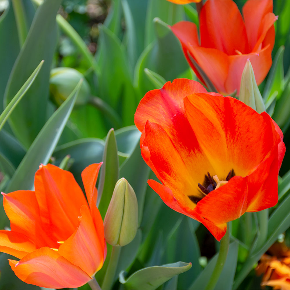 Eye Catcher Tulip Collection - 15 Pack