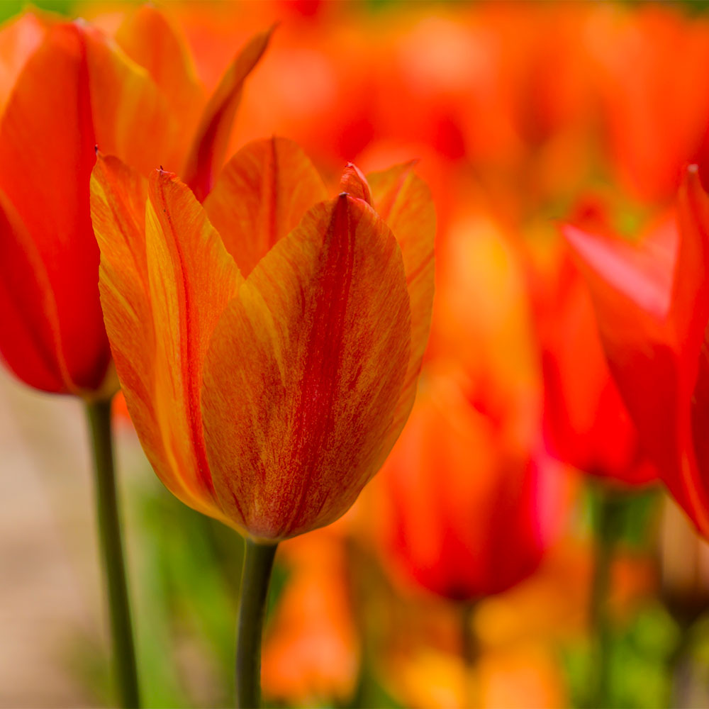 Beauty of Apeldoorn Tulip - 5 Pack