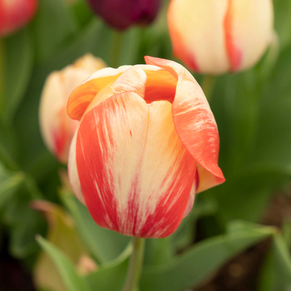 Beauty of Spring Tulip