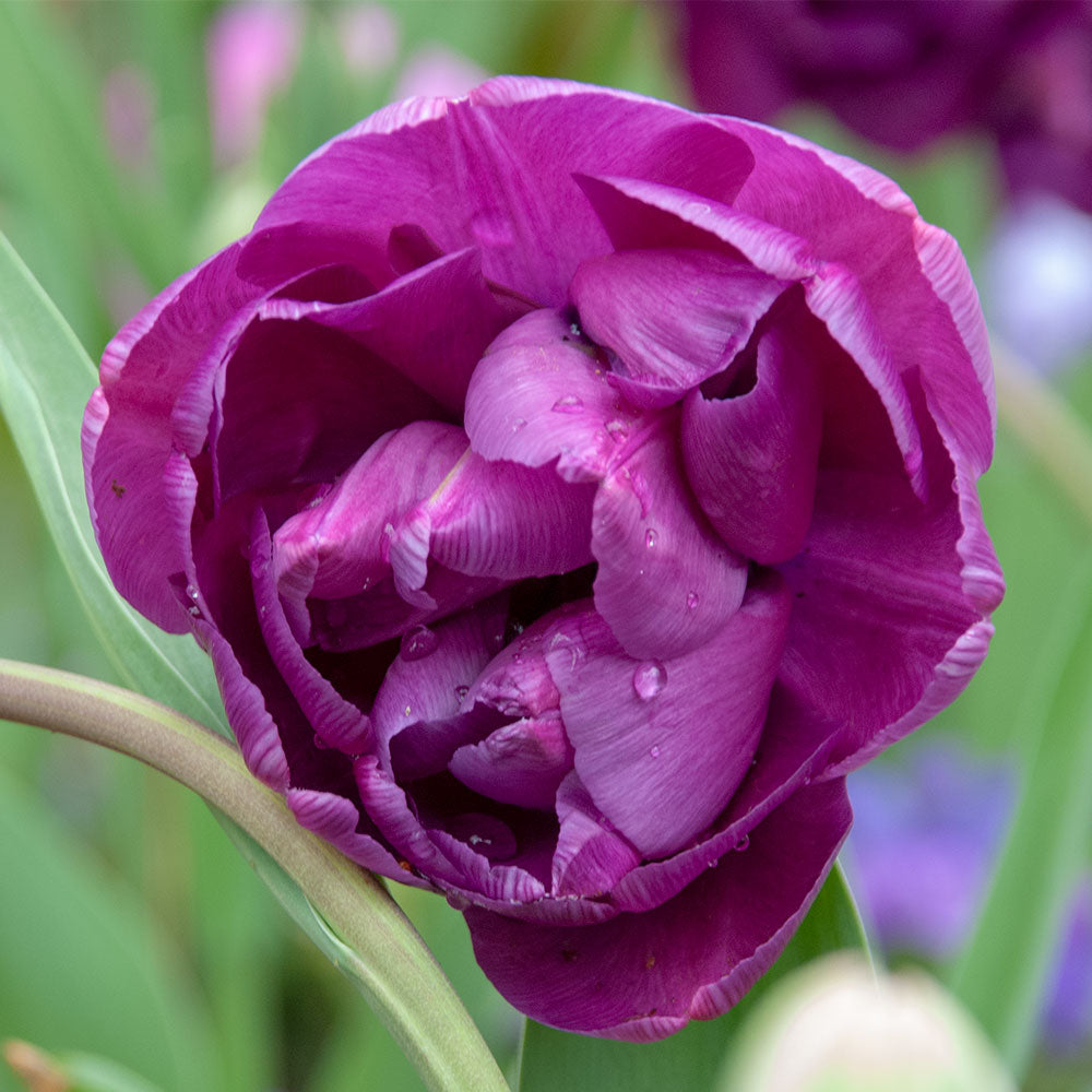 Blue Diamond Tulip - 5 Pack