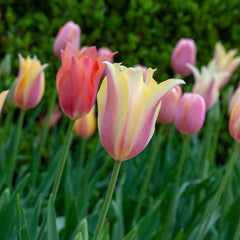 Elegance Redefined Tulip Collection