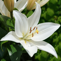 Bright Diamond LA Hybrid Lily