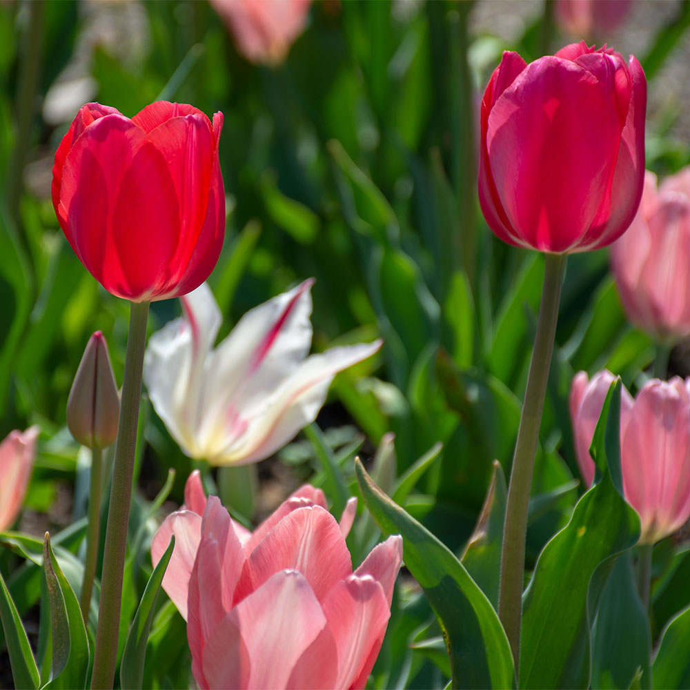 Cape Holland Tulip