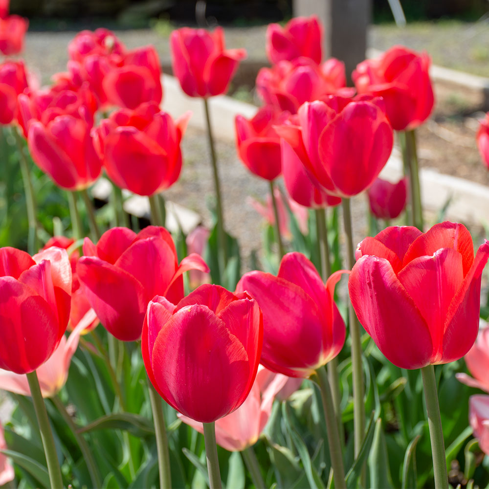 Cape Holland Tulip - 5 Pack