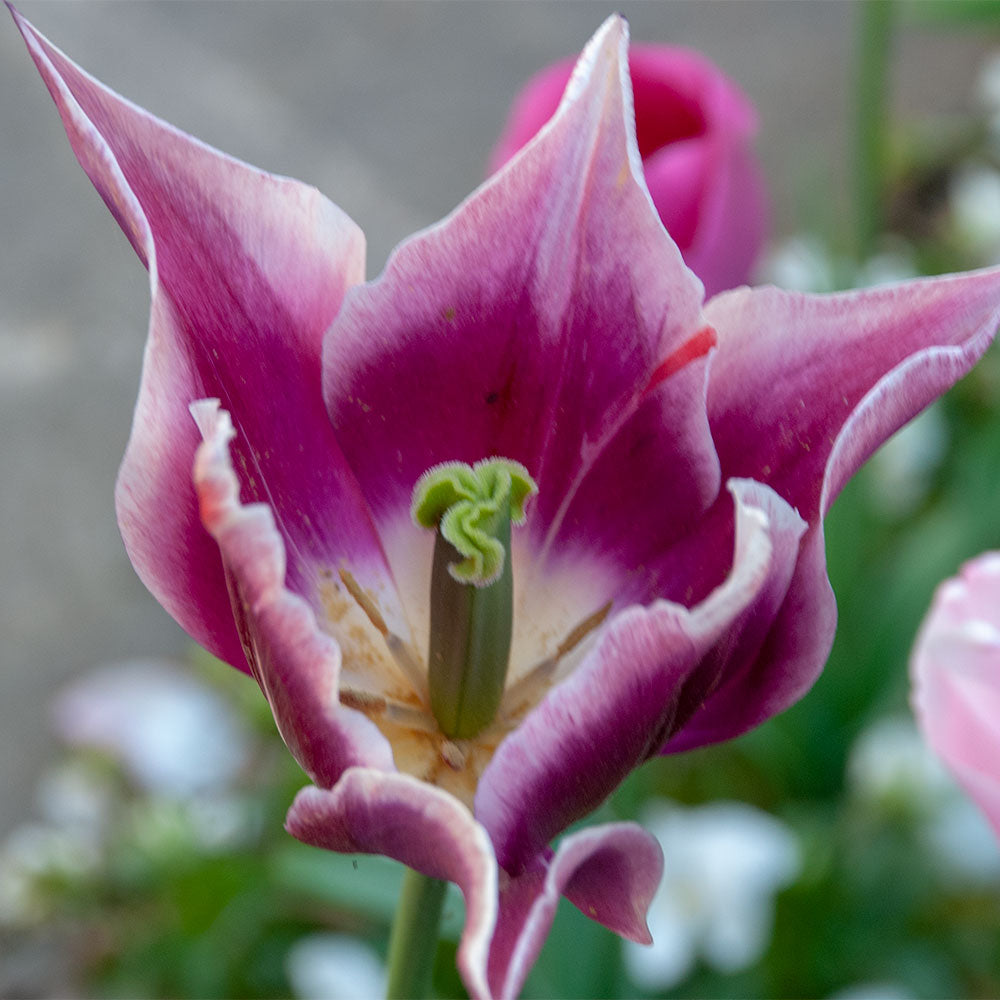 Claudia Tulip - 5 Pack