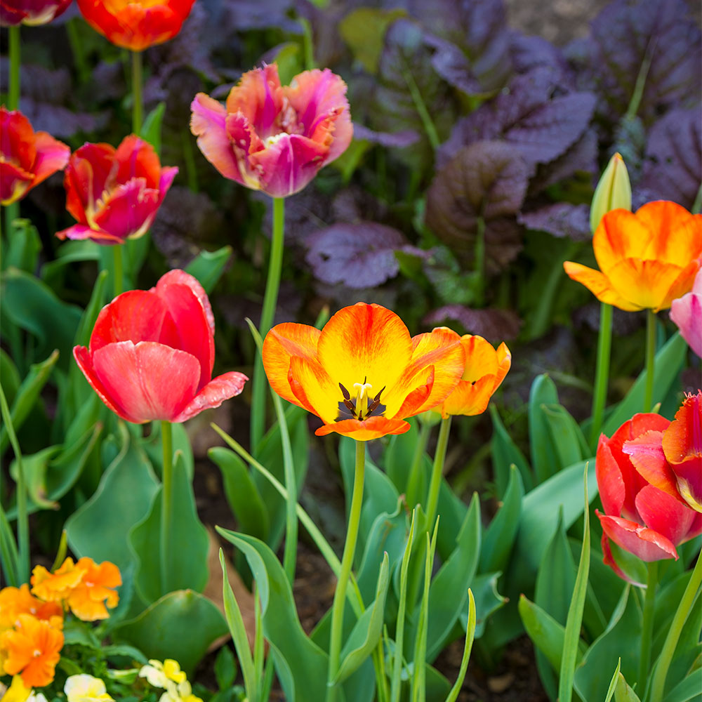 Constant Comment Tulip Collection - 5 Pack