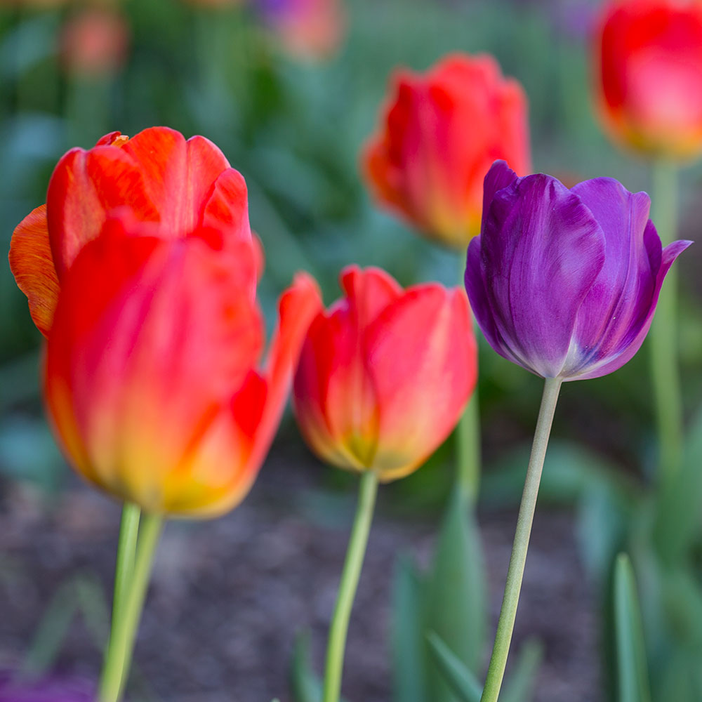 Contrasting Beauties Tulip Collection - 10 Pack
