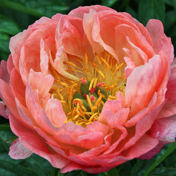Coral Sunset Peony