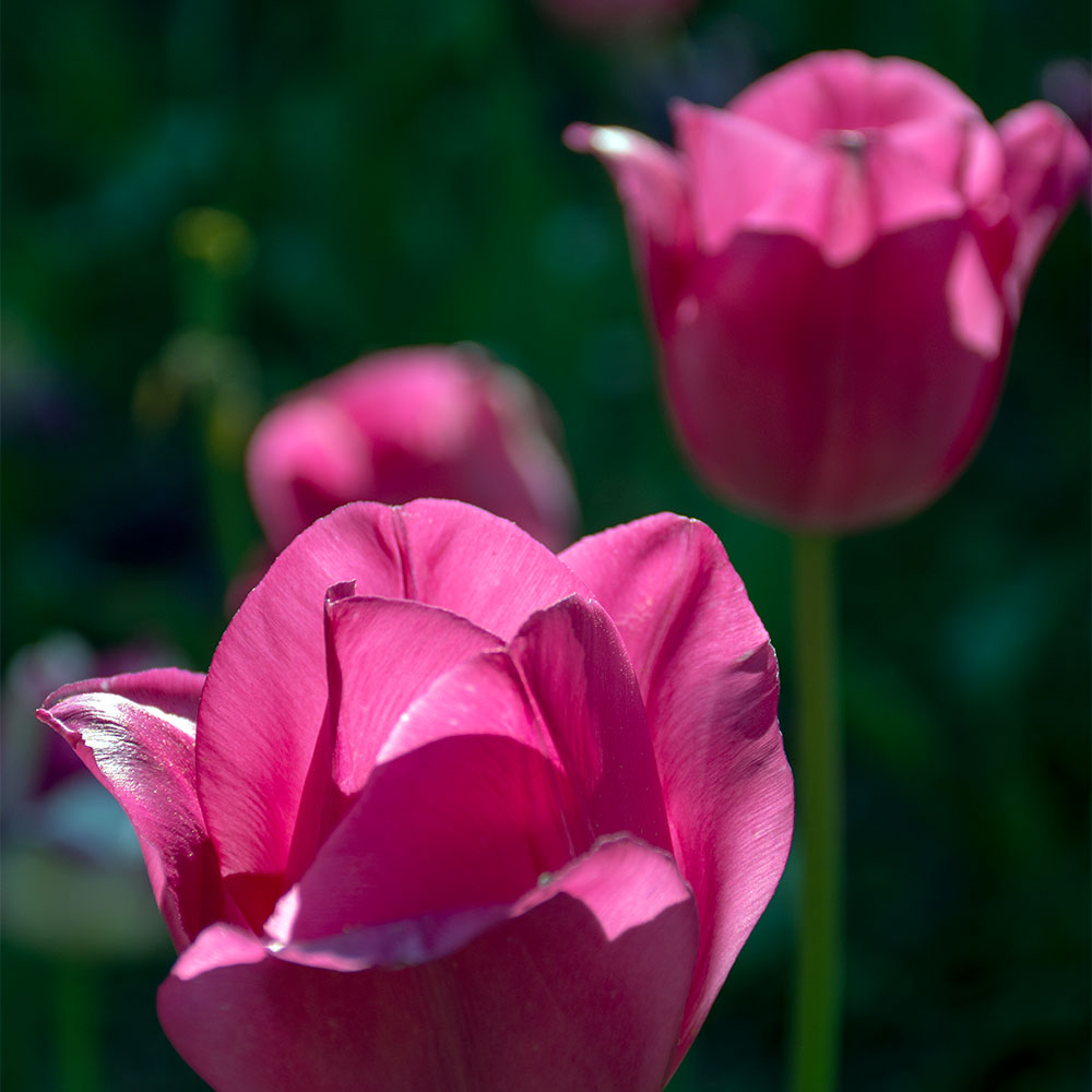 Don Quichotte Tulip