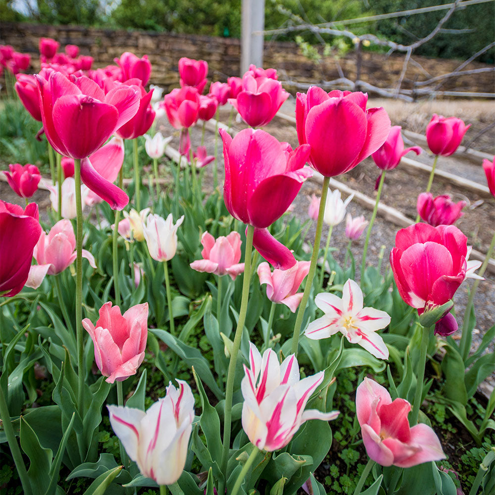 Elegant Profusion Tulip Collection - 15 Pack