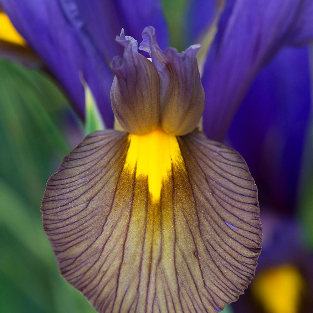 Eye of the Tiger Dutch Iris - 5 Pack