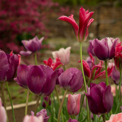 Garden Party Tulip Collection - 20 Pack