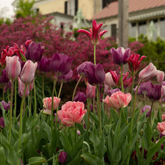 Garden Party Tulip Collection