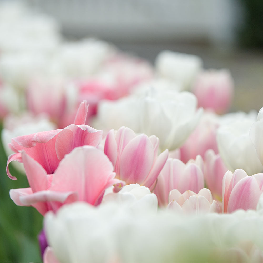 Garden Radiance Tulip Collection - 10 Pack