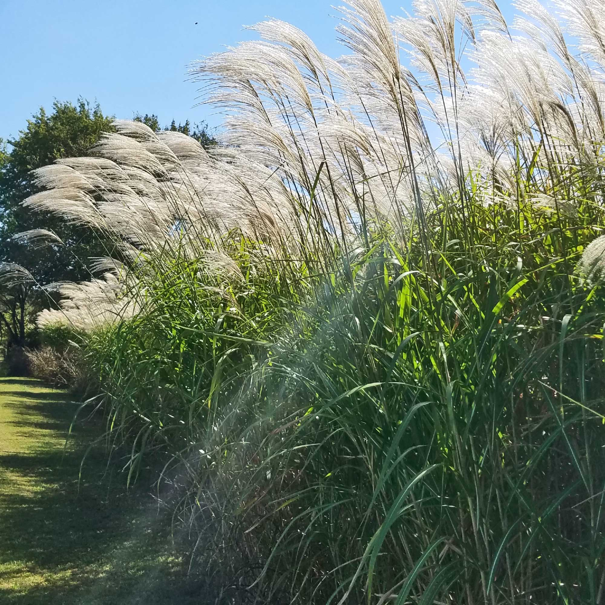Giant Miscanthus Grass Collection