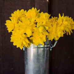 Golden Ducat Daffodil - 5 Pack