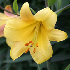 Golden Splendor Trumpet Lily