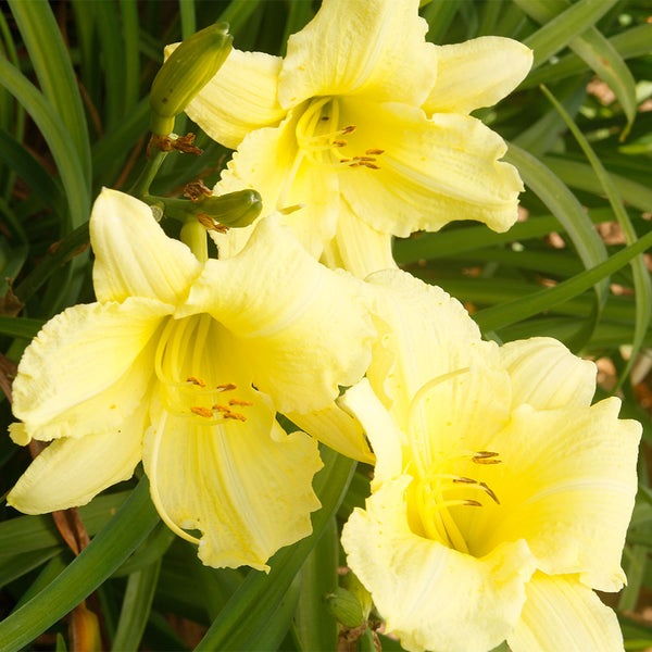 Happy Returns Daylily