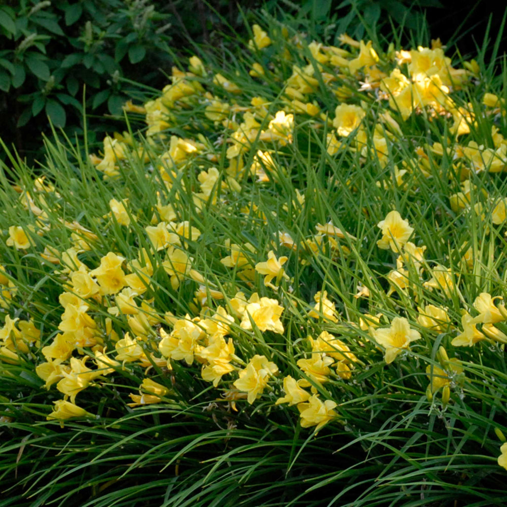Summer long daylily collection moss mountain farm collection summer long daylily collection izmirmasajfo