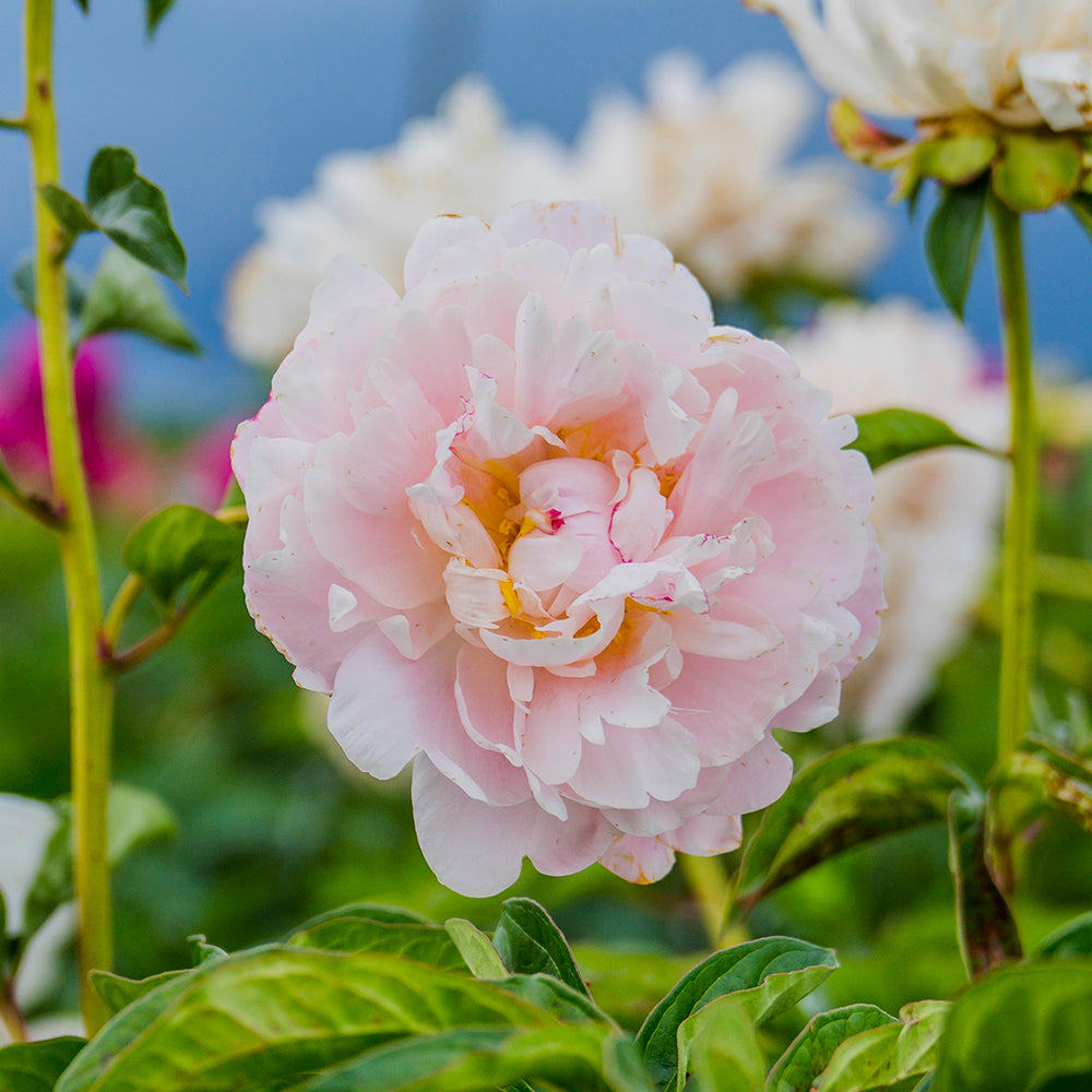 High Fashion Peony