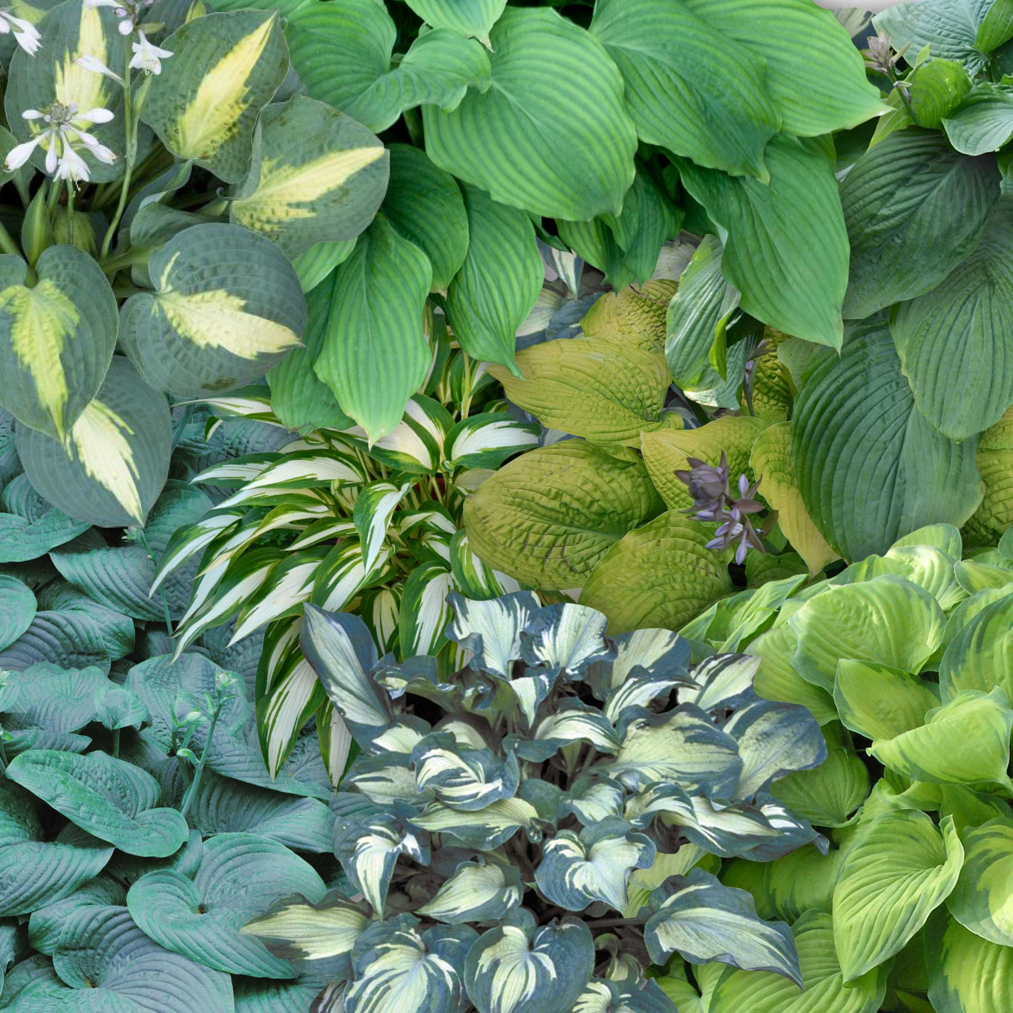 Hosta Ground Cover Collection