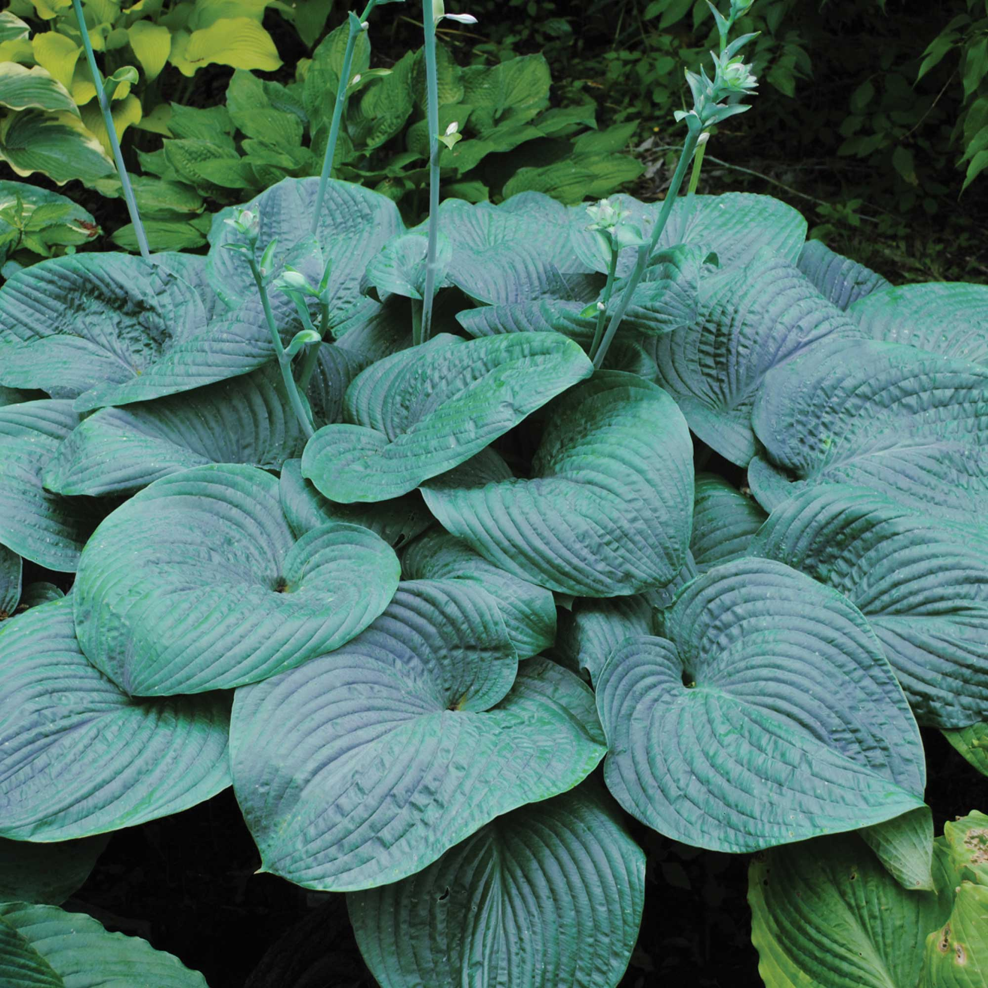 Giant Hosta Collection
