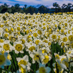 Ice Follies Daffodil - 5 Pack