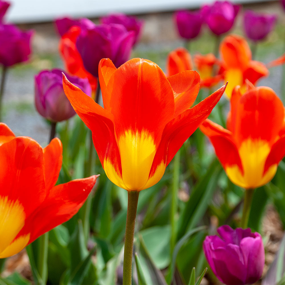 Vibrance Tulip Collection - 10 pack