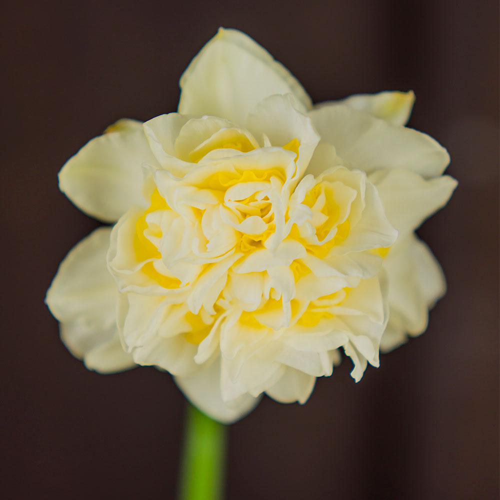 Manly Daffodil - 5 Pack