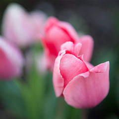 Passion for Pink Tulip Collection - 30 Pack