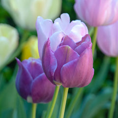 Pastel Perfection Tulip Collection - 15 Pack
