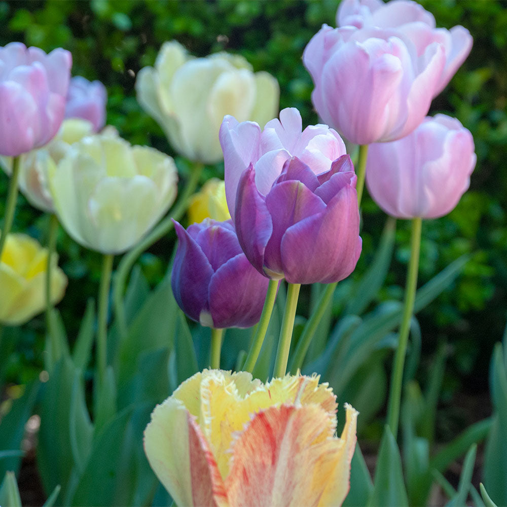 Pastel Perfection Tulip Collection
