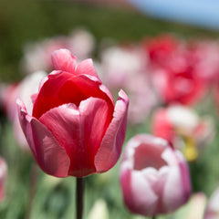 Pink Impression Tulip - 5 Pack
