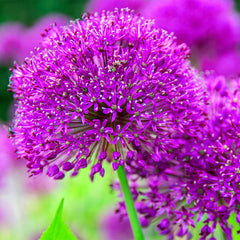 Purple Flowering Allium
