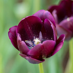 Queen of the Night Tulip - 5 Pack