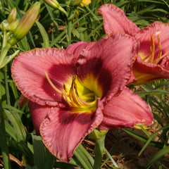 Return A Smile Daylily