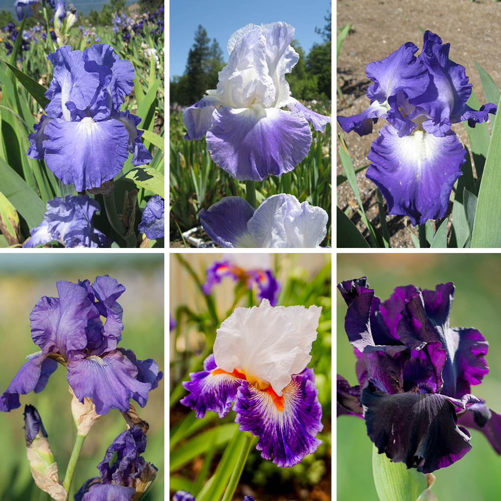 Regal Display Iris Collection