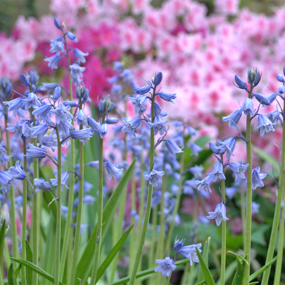 Spanish Bluebell Hyacinth - 5 Pack