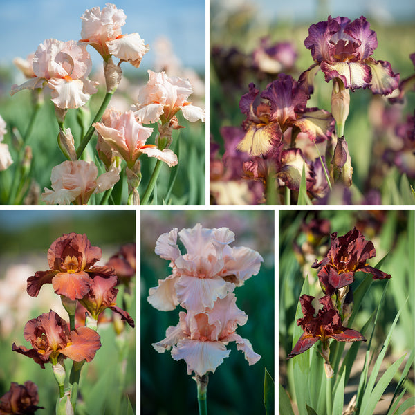 Sweet Dessert Iris Collection