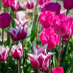 Sweet Dreams Tulip Collection - 15 pack