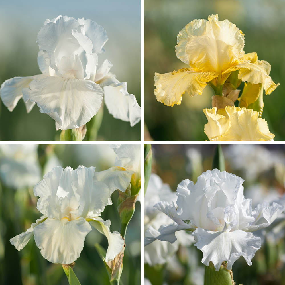 Tranquil Moment Iris Collection