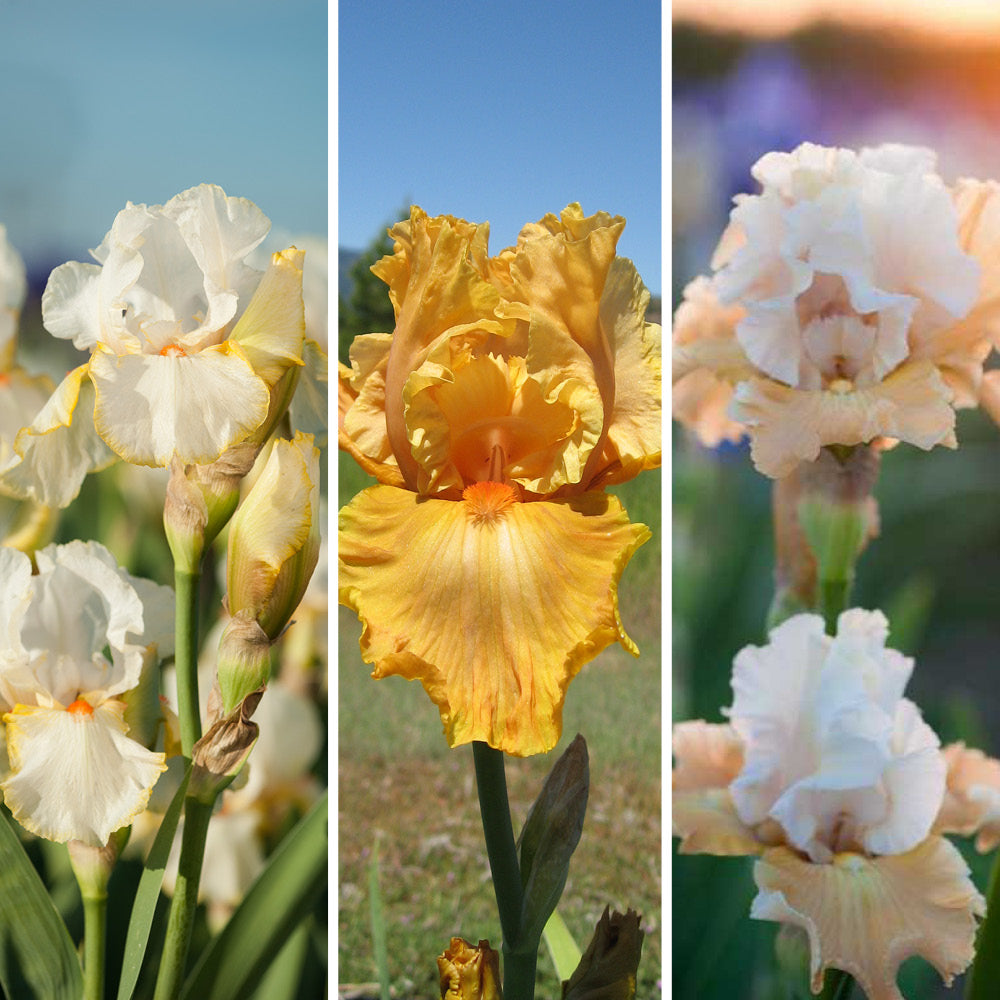 Warm Sunrise Iris Collection