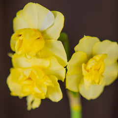 Yellow Cheerfulness Daffodil - 5 pack