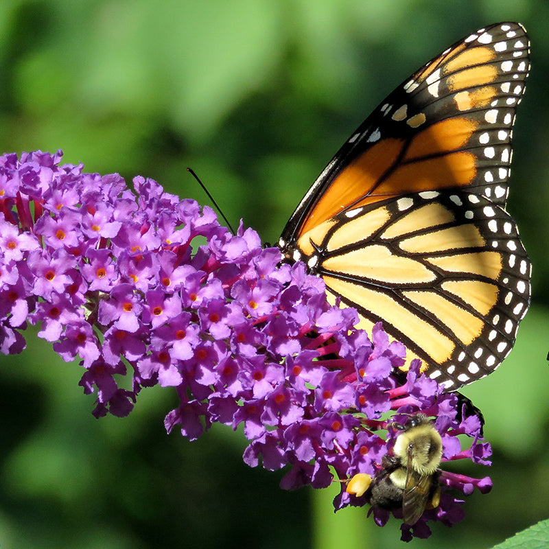 Butterfly Bush Collection
