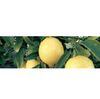 Canvas Lemon Cold Pressed Essential Oil Organic