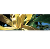 Canvas Ylang Ylang Essential Oil Organic